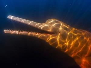 Tuyệt đẹp loài cá heo hồng cực hiếm trên sông Amazon