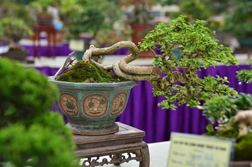 Những cây bonsai tí hon giá hàng trăm triệu - 2