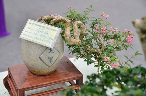 Những cây bonsai tí hon giá hàng trăm triệu - 3