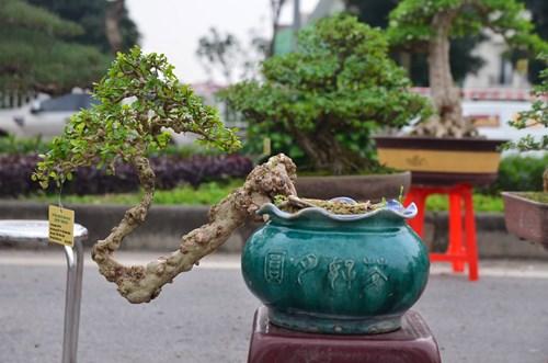 Những cây bonsai tí hon giá hàng trăm triệu - 4