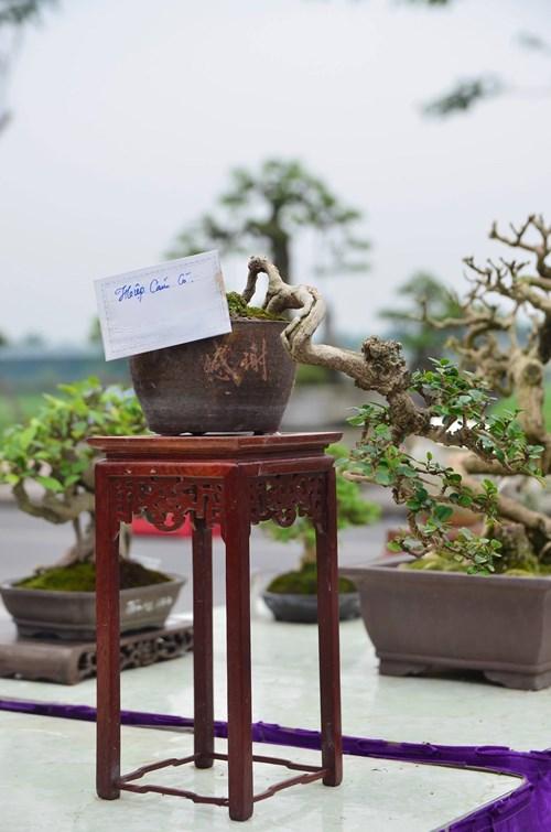 Những cây bonsai tí hon giá hàng trăm triệu - 5