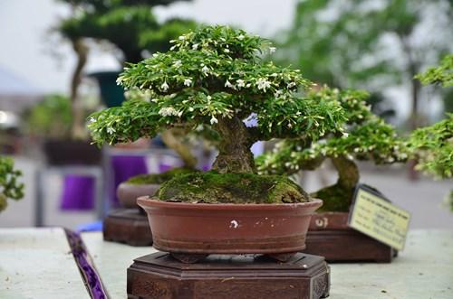 Những cây bonsai tí hon giá hàng trăm triệu - 6