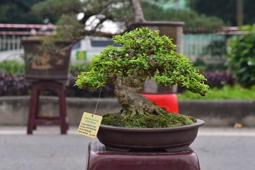 Những cây bonsai tí hon giá hàng trăm triệu - 8