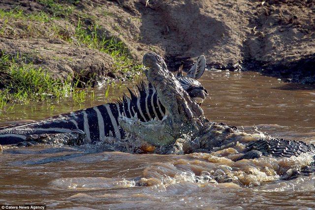 Bị cá sấu ngoạm, ngựa vằn cắn trả dữ dội thoát thân - 1