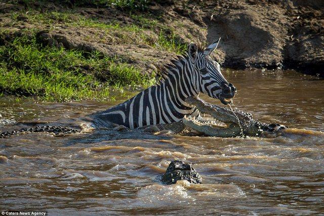 Bị cá sấu ngoạm, ngựa vằn cắn trả dữ dội thoát thân - 2