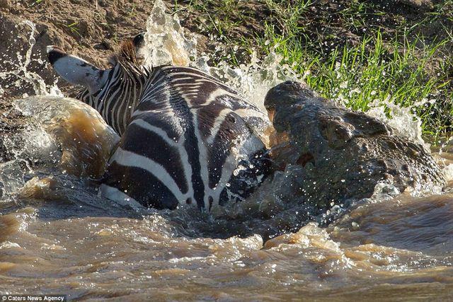 Bị cá sấu ngoạm, ngựa vằn cắn trả dữ dội thoát thân - 3