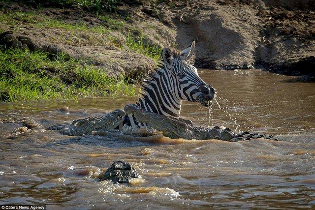 Bị cá sấu ngoạm, ngựa vằn cắn trả dữ dội thoát thân - 5
