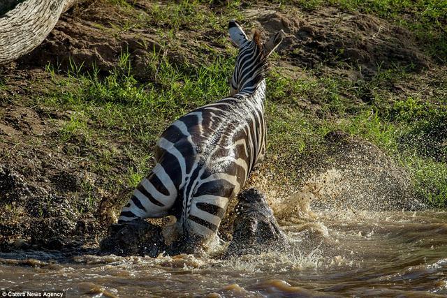 Bị cá sấu ngoạm, ngựa vằn cắn trả dữ dội thoát thân - 6