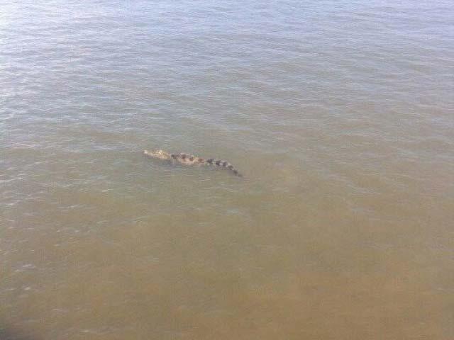 """Đã bắt được cá sấu """"khủng"""" trên sông Soài Rạp - 2"""