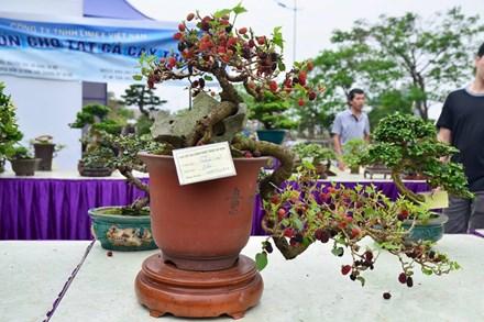 Suýt xoa dàn cây ăn quả bonsai tuyệt đẹp ở Thủ đô - 1