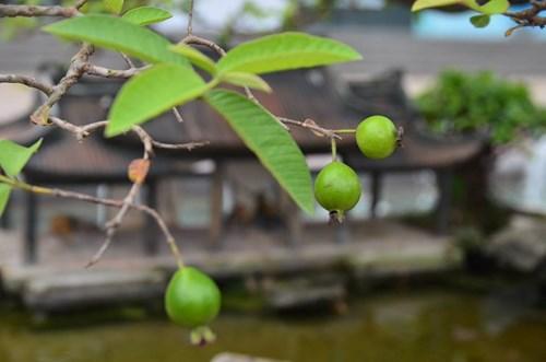 Suýt xoa dàn cây ăn quả bonsai tuyệt đẹp ở Thủ đô - 12