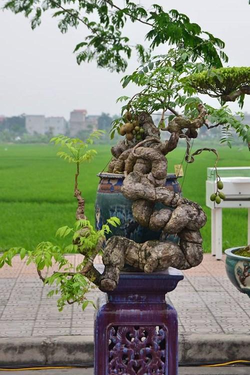 Suýt xoa dàn cây ăn quả bonsai tuyệt đẹp ở Thủ đô - 2