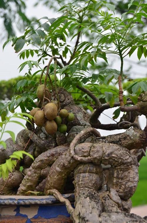 Suýt xoa dàn cây ăn quả bonsai tuyệt đẹp ở Thủ đô - 3