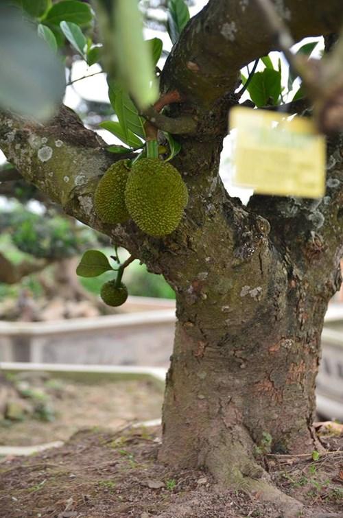 Suýt xoa dàn cây ăn quả bonsai tuyệt đẹp ở Thủ đô - 4
