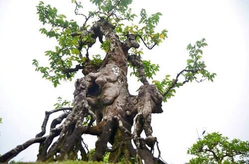 Suýt xoa dàn cây ăn quả bonsai tuyệt đẹp ở Thủ đô - 5