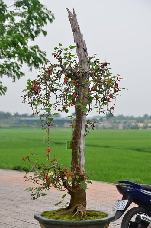 Suýt xoa dàn cây ăn quả bonsai tuyệt đẹp ở Thủ đô - 6