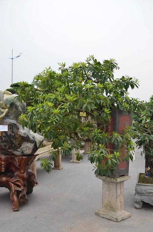 Suýt xoa dàn cây ăn quả bonsai tuyệt đẹp ở Thủ đô - 7