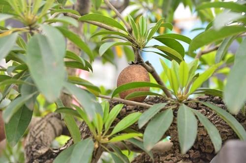 Suýt xoa dàn cây ăn quả bonsai tuyệt đẹp ở Thủ đô - 8