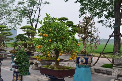 Suýt xoa dàn cây ăn quả bonsai tuyệt đẹp ở Thủ đô - 9