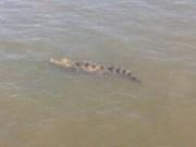 """Tin tức trong ngày - Đã bắt được cá sấu """"khủng"""" trên sông Soài Rạp"""