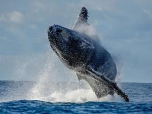 Cú nhảy vọt qua mặt nước cực hiếm của cá voi 40 tấn