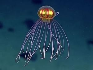 """Bắt gặp loài sứa """"ngoài hành tinh"""" dưới đáy Thái Bình Dương"""