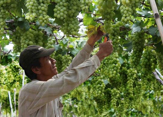 Giá nho tăng mạnh, nông dân Ninh Thuận bớt khổ - 1