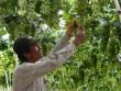Giá nho tăng mạnh, nông dân Ninh Thuận bớt khổ