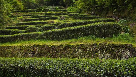 Bí mật loại trà đắt hơn vàng 30 lần - 2