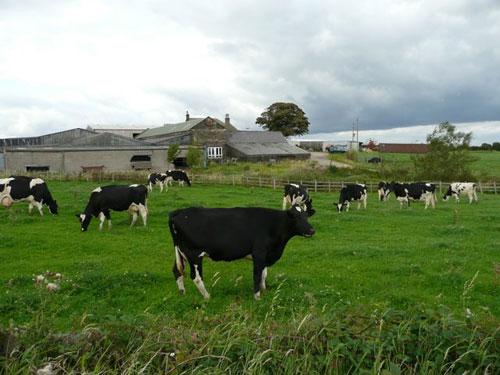 Những thiên đường cho bò sữa trên thế giới - 1