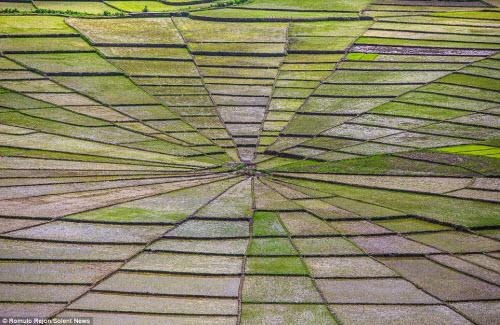 Vẻ đẹp độc đáo của cánh đồng hình lưới nhện ở Indonesia - 1