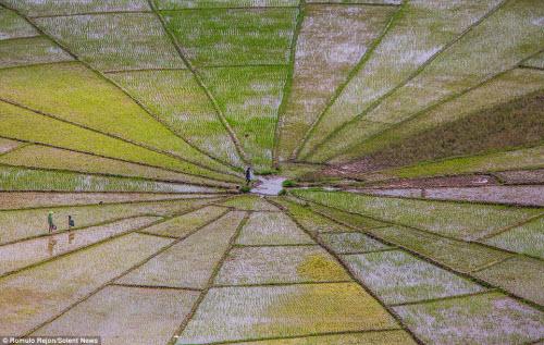 Vẻ đẹp độc đáo của cánh đồng hình lưới nhện ở Indonesia - 2