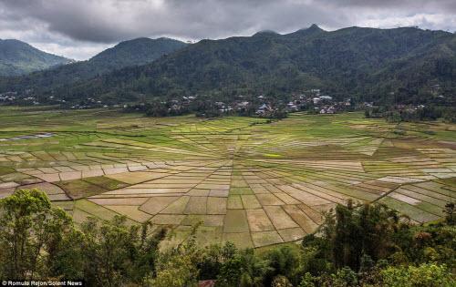 Vẻ đẹp độc đáo của cánh đồng hình lưới nhện ở Indonesia - 3