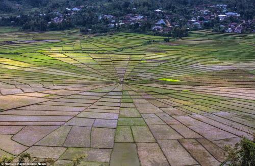 Vẻ đẹp độc đáo của cánh đồng hình lưới nhện ở Indonesia - 5