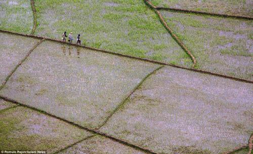 Vẻ đẹp độc đáo của cánh đồng hình lưới nhện ở Indonesia - 9