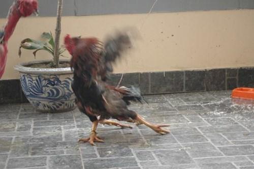 Cận cảnh sơn kê 4 chân kịch chiến với gà chọi Thủ đô - 7