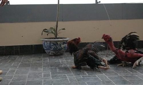 Cận cảnh sơn kê 4 chân kịch chiến với gà chọi Thủ đô - 8