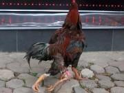 Tin tức trong ngày - Cận cảnh sơn kê 4 chân kịch chiến với gà chọi Thủ đô