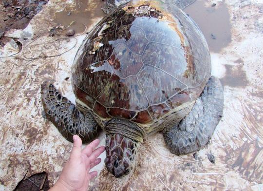 Giải cứu rùa biển quý hiếm suýt bị làm mồi nhậu - 1