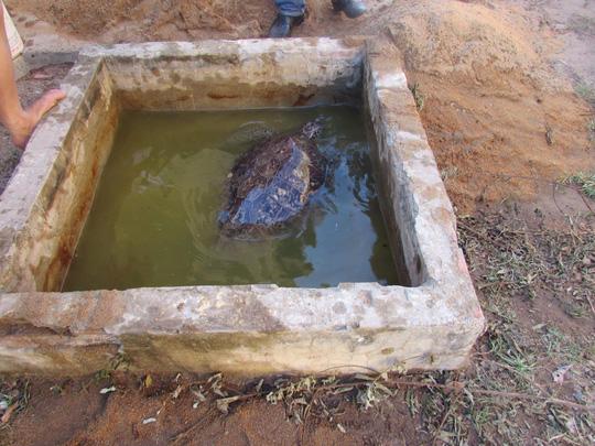 Giải cứu rùa biển quý hiếm suýt bị làm mồi nhậu - 2