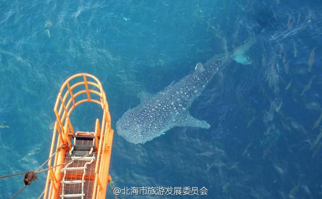 """Cá mập voi khổng lồ bị giết hại, """"treo cổ"""" ở Trung Quốc - 3"""