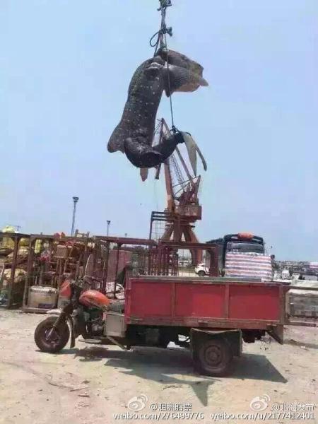 """Cá mập voi khổng lồ bị giết hại, """"treo cổ"""" ở Trung Quốc - 5"""