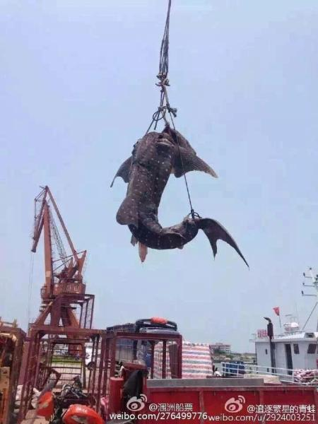"""Cá mập voi khổng lồ bị giết hại, """"treo cổ"""" ở Trung Quốc - 4"""