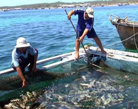 """Cá chết ở đảo Phú Quý nghi do """"thủy triều đỏ"""" - 1"""