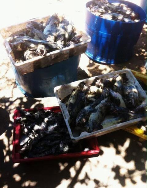 """Cá chết ở đảo Phú Quý nghi do """"thủy triều đỏ"""" - 2"""