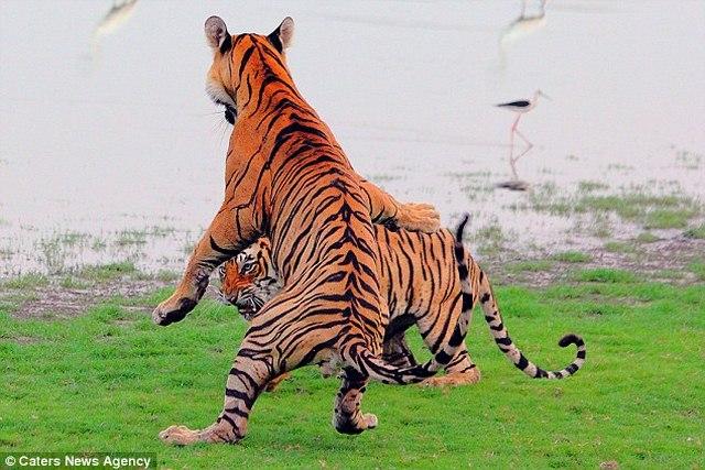 Hổ đứng thẳng 2 chân đánh nhau như phim chưởng - 3