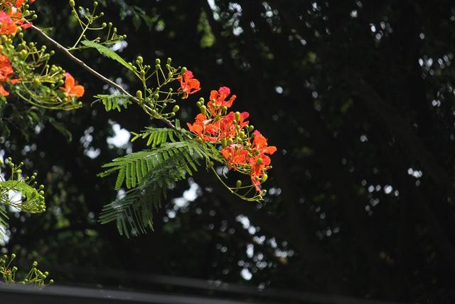 Ngẩn ngơ ngắm hoa phượng nở rực trời Hà Nội đầu hè - 2
