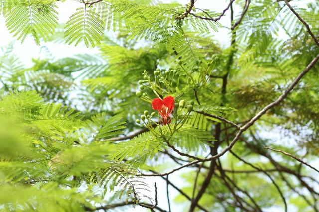 Ngẩn ngơ ngắm hoa phượng nở rực trời Hà Nội đầu hè - 11