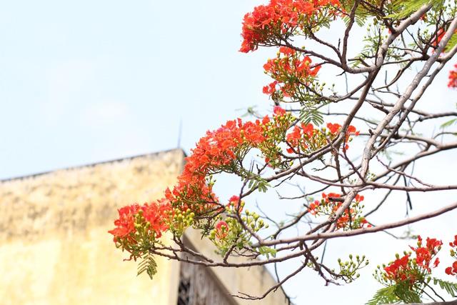 Ngẩn ngơ ngắm hoa phượng nở rực trời Hà Nội đầu hè - 12