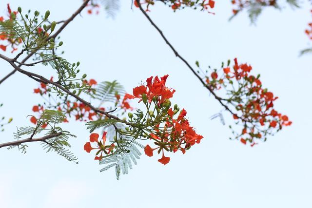 Ngẩn ngơ ngắm hoa phượng nở rực trời Hà Nội đầu hè - 3